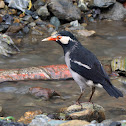 Pied Myna (or Asian Pied Starling)