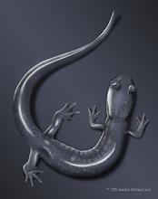 Photo: Plethodon glutinosus | Slimy salamander