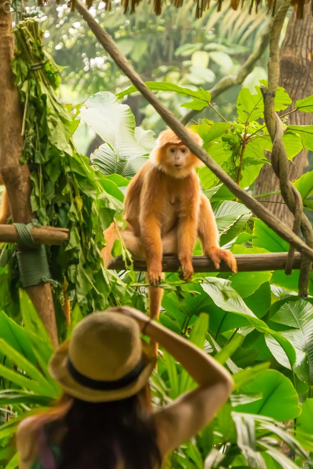 シンガポール動物園 ドゥクラングール1