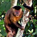 Black-horned Capuchin, Black Capuchin, Macaco-prego