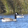 Northern Pintail (and Canada Goose)