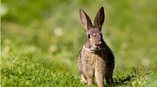 La caza del conejo, a partir del 9 de agosto, abre la temporada 2020-21