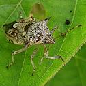 Predator stink bug