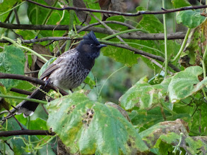 Photo: Red-vented Bulbul