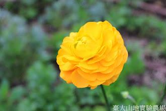 Photo: 拍攝地點: 梅峰-溫帶花卉區 拍攝植物: 陸蓮 拍攝日期: 2014_12_17_FY