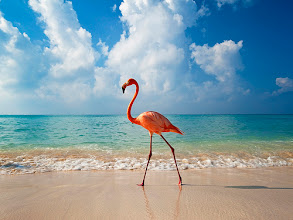 Photo: Bayahibe, Dominican Republic --- Flamingo walking along beach --- Image by © Axiom Photographic/Destinations/Corbis