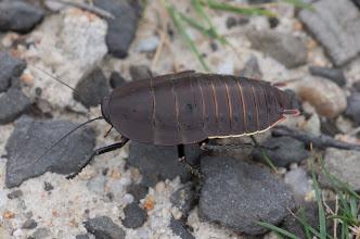 Photo: Polyzosteria limbata - diurnal cockroach