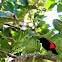 Scarlet Rumped Tanager{Male}