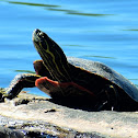 Western Painted Turtle