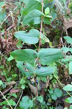 Photo: Millepertuis androsème, Orkatxa (Hypericum androsaemum)