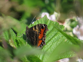 Photo: 15 Jul 13 Priorslee Lake: Even with the wings mostly closed this can be identified as a Small Tortoiseshell easily – by the blue dots in the training edge of the upper-wings. (Ed Wilson)