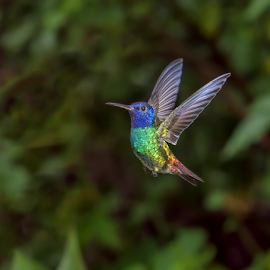 Golden-Tailed Sapphire by Phyllis Plotkin - Animals Birds ( golden-tailed sapphire, flight, sumaco, nature, hummingbird, wild, ecuador )