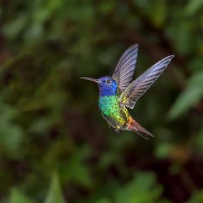 Golden-Tailed Sapphire by Phyllis Plotkin - Animals Birds ( golden-tailed sapphire, flight, sumaco, nature, hummingbird, wild, ecuador )