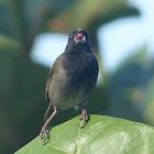 Black-faced Grassquit