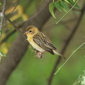 baya weaver (Ploceus philippinus) by Vivek Naik - Animals Birds ( ploceus philippinus, baya weaver )
