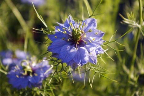 hạt giống hoa bảo thạch ba tư