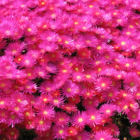 by Joao Sousa - Flowers Flower Gardens ( jardim, flores )