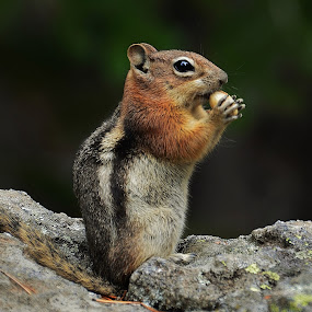 Chipmunk by Thomas Barr - Animals Other Mammals (  )