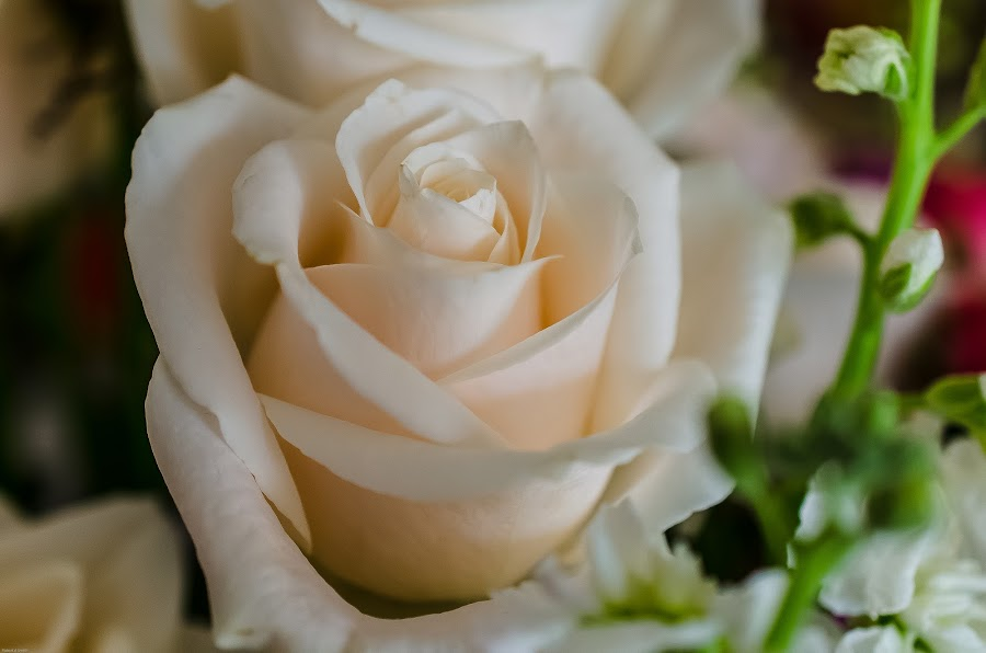 White Rose by Robert Smith - Flowers Single Flower ( rose, may 2015, mothers, white, day,  )