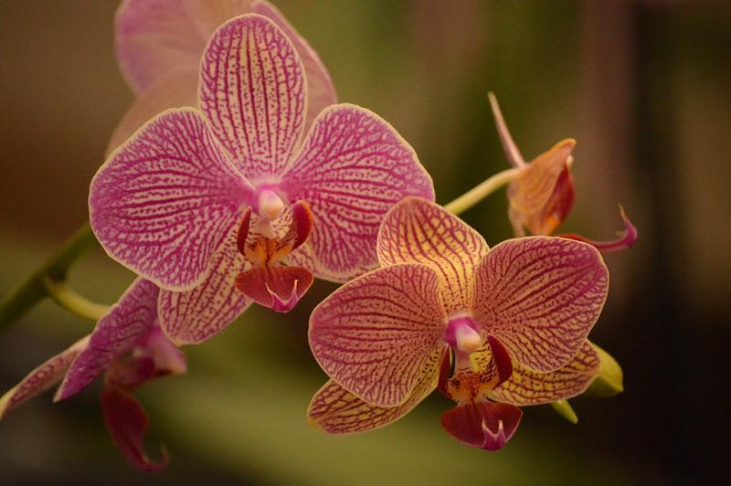Phalaenopsis di coriele_francesca