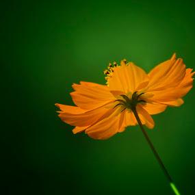 Elegant - Enchanting by Kartik Wat - Nature Up Close Flowers - 2011-2013 ( wow, nature, elegant, green, enchanting, serine, yellow, garden, closeup )
