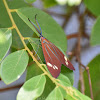 Drury's Jewel (Day-Flying Moth) male