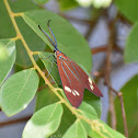 Drury's Jewel (Day-Flying Moth) male
