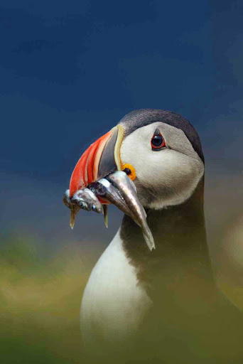 Lindblad-Expeditions-Iceland-puffin-lunch.jpg - A puffin grabs an Icelandic snack.