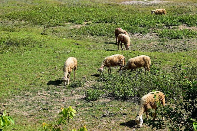 Một đàn cừu.