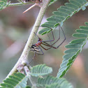 Orchard spider?
