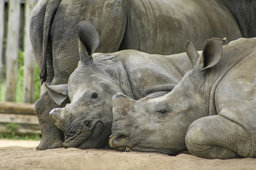 Moving target: From negligible southern white rhino poaching rates 10 years ago, killings rose sharply in KwaZulu-Natal to 100 animals in 2014 and more than doubled to 222 killings in 2017. That is while killings in the Kruger National Park dropped significantly in the past three years. Picture: SUPPLIED