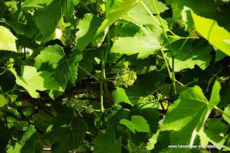 Photo: der Wein blüht .... es sind wieder sehr viele Blüten... wir bieten jetzt schon an, wer will kann sich Trauben holen im Herbst.