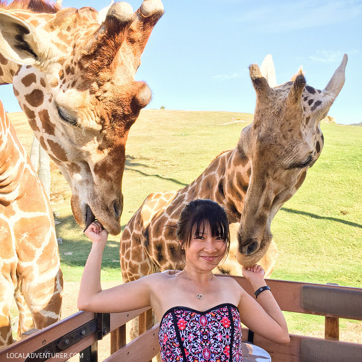 Caravan Safari San Diego Wild Animal Park (101 Things to Do in San Diego).