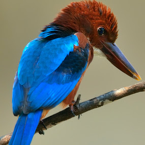 White throated kingfisher by Francois Wolfaardt - Uncategorized All Uncategorized ( contrast, bird, nature, blue, kingfisher, close-up, colours,  )