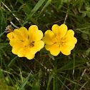 Dwarf Yellow Cinquefoil