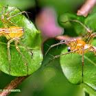 Orange Striped Lynx Spider & Lean lynx spider