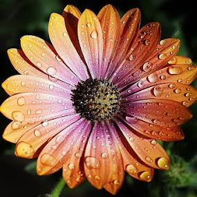 Shine and dark, by Giovanna Pagliai - Flowers Single Flower ( happyness, lights, colors, plants, shadows )