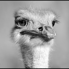 Ostrich by Dave Lipchen - Black & White Animals ( ostrich )