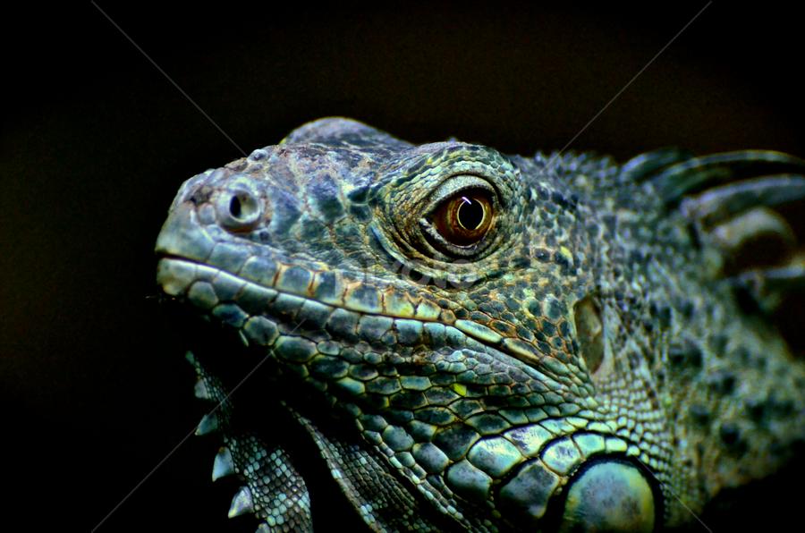 Zoo Dragon by Mauritz Janeke - Animals Reptiles ( zoo, dragon, mauritz, abu dhabi, reptile,  )