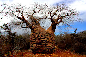 Photo: baobab trees