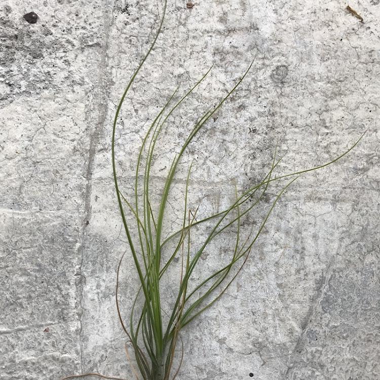 Air Plant - Tillandsia setacea