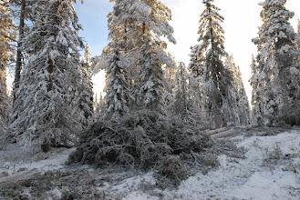 Photo: Gammelskog av nyckelbiotopsklass som Sveaskogs lokala ledning nerklassade och avverkade bakom ryggen på sin ekolog. Sveaskogs interna kommunikation och naturvård fungerar inte.