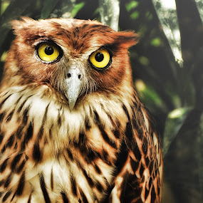 Philippine Farm Owl by Paolo Zalameda - Animals Birds ( paolo zalameda, owl,  )