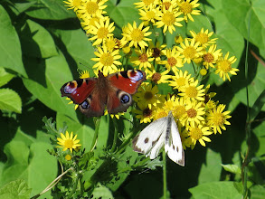 Photo: 14 Aug 13 Wood Lane: Three for the price of one: Peacock and rather scruffy Large White on Ragwort. (Ed Wilson)