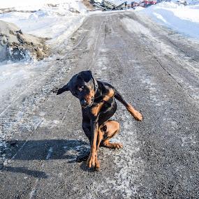 D-DOG by Ricky Friskilæ - Animals - Dogs Playing