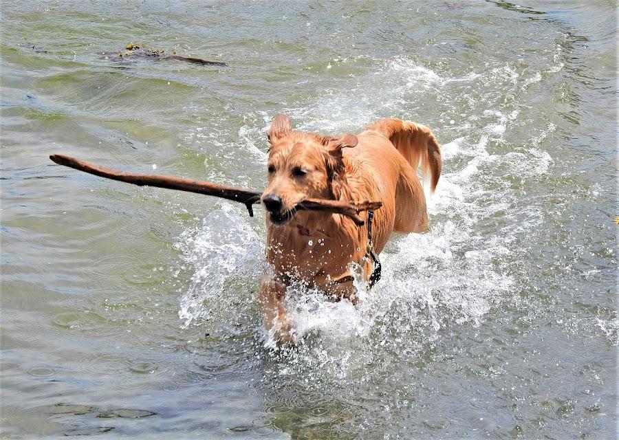 Water fun. by Carol Leynard - Animals - Dogs Playing ( golden retriever, swimming, ocean, fetch, golden, water., water )