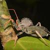 Cog Wheel Assassin Bug