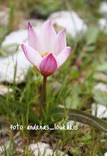 Photo: tulipa bakeri ΤΟΥΛΙΠΑ ΤΟΥ ΒΑΚΕR