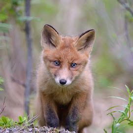Fox cub by Marius Birkeland - Animals Other Mammals ( fox, nature, baby, cub, animal )