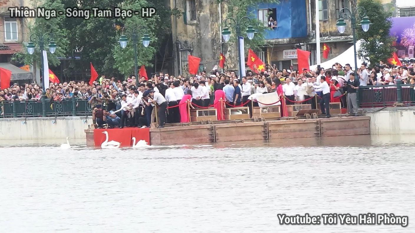 Cận cảnh chim Thiên Nga ở sông Tam Bạc Hải Phòng